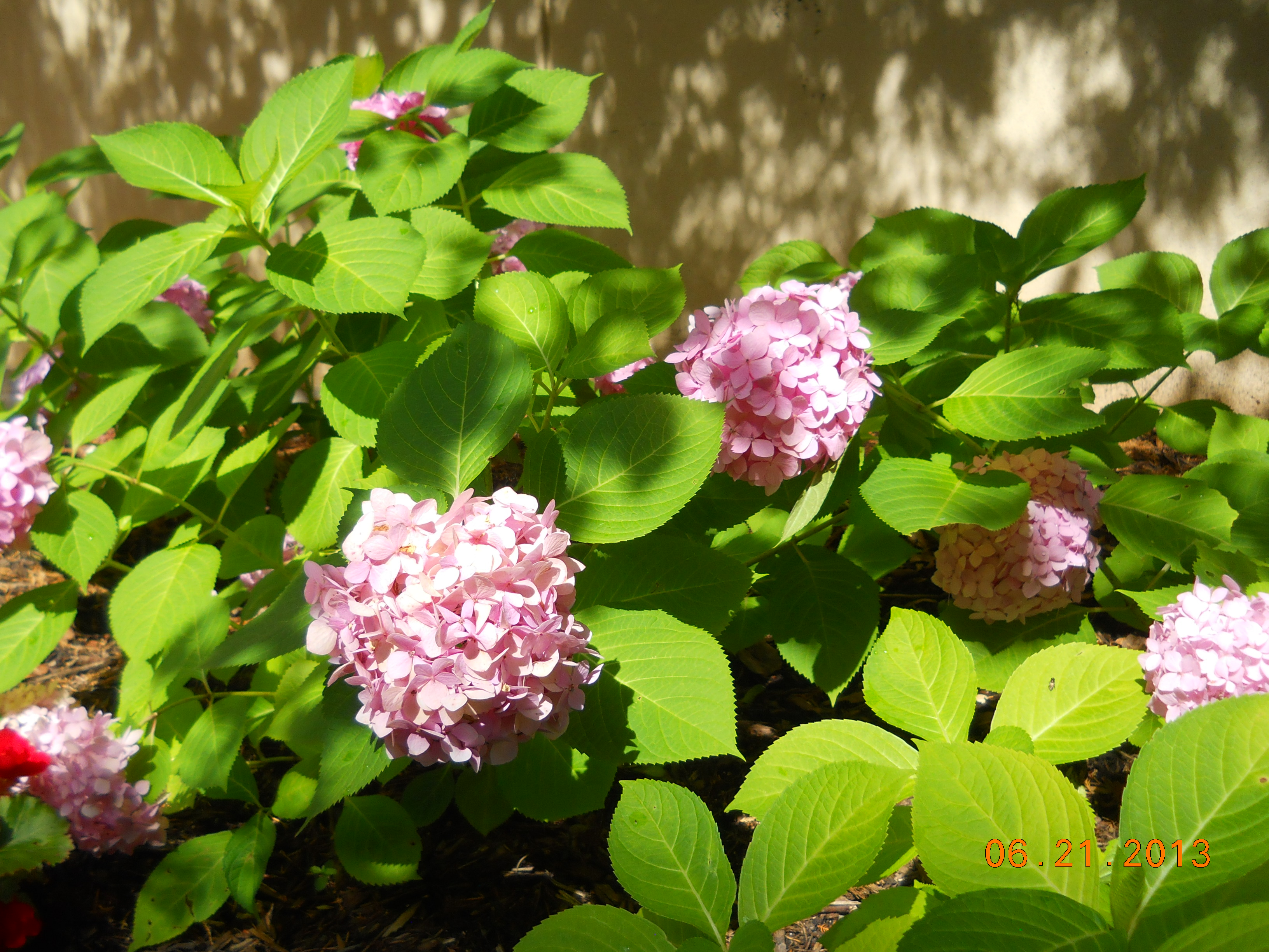 Landscape services university of mississippi flowering early spring hydrangea mop head hydrangea macrophylla shrub mightylinksfo