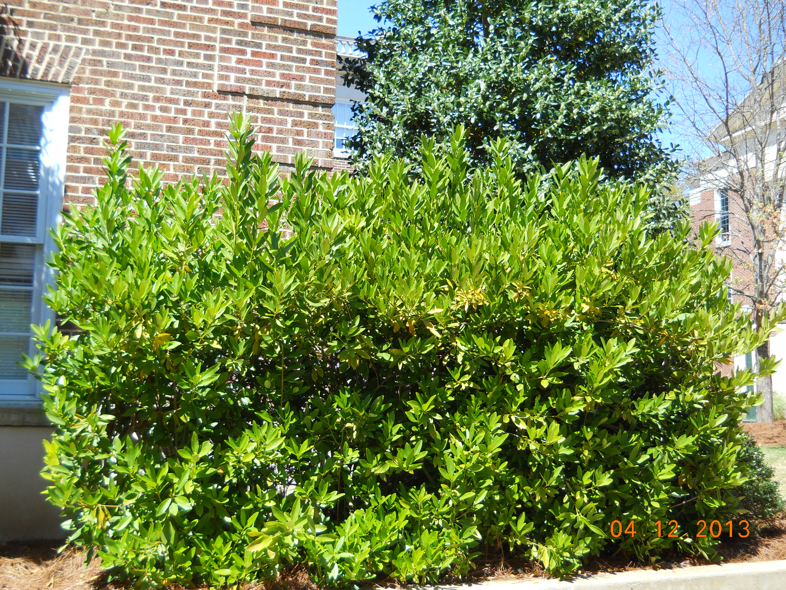 Landscape services university of mississippi for Common landscaping shrubs