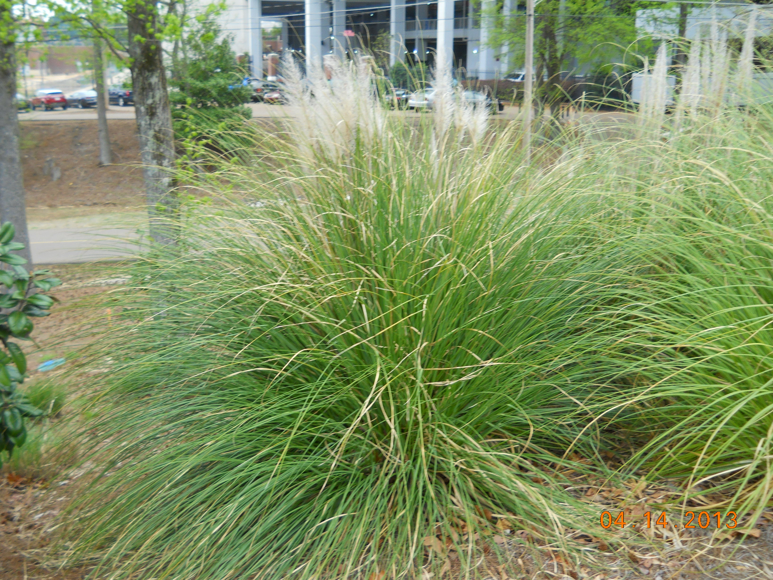 Landscape services university of mississippi for Grass plants for landscaping