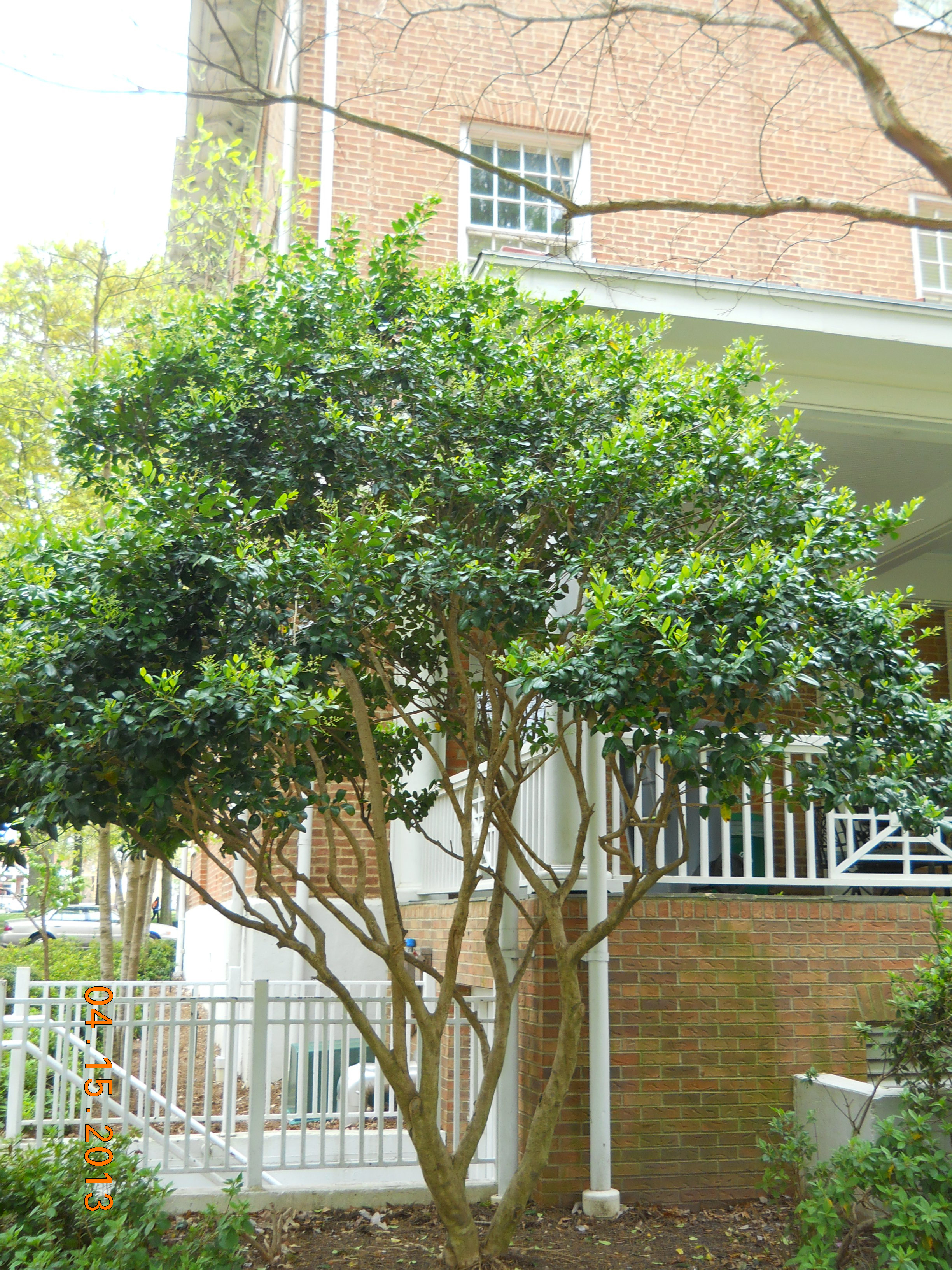 how to cut back a ligustrum tree