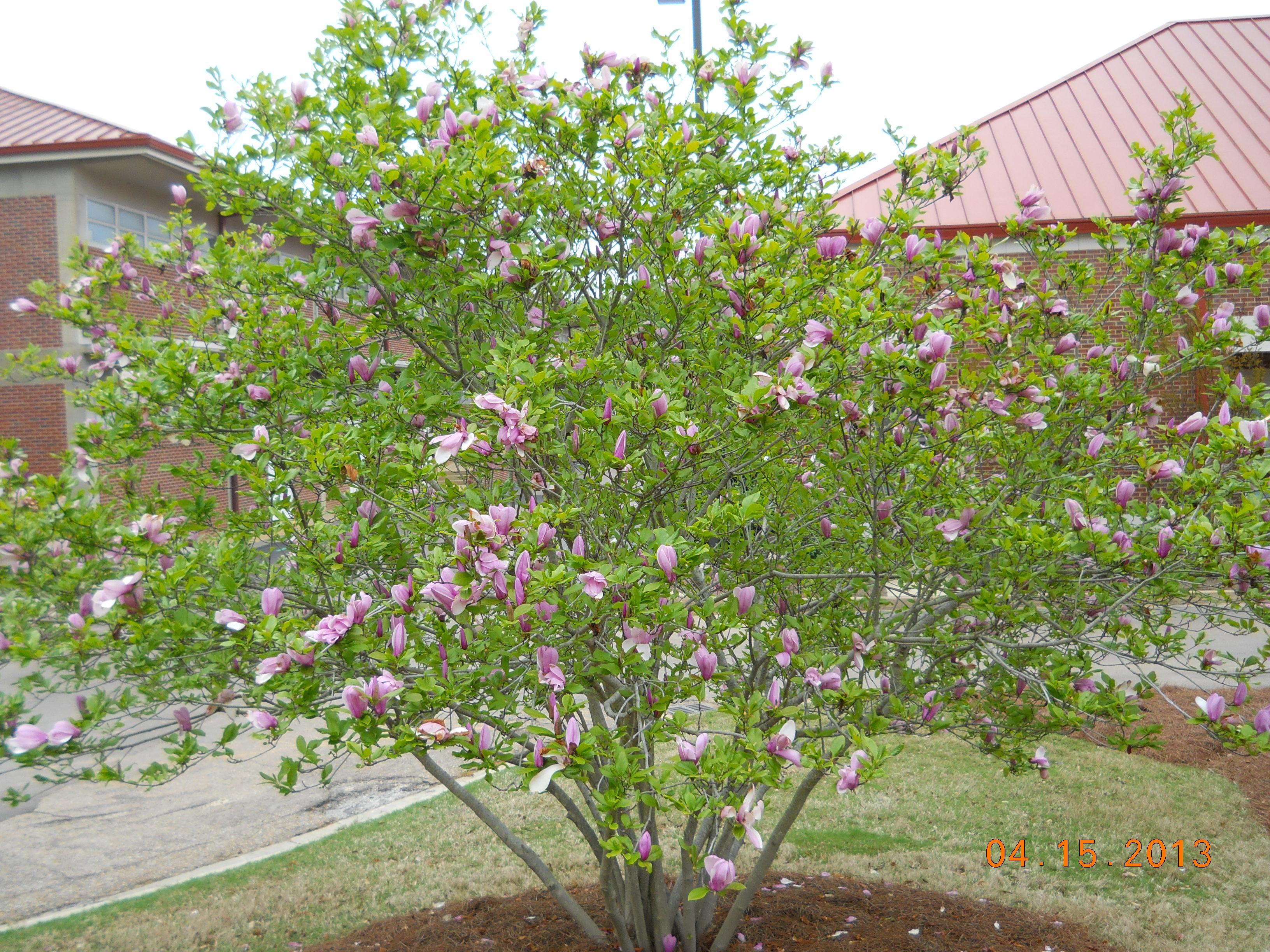 Saucer Magnolia A K Anese